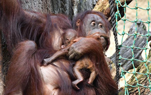 Der Zoo Feiert Orang Utan Baby Taufe Und 5 Jahre Darwineum
